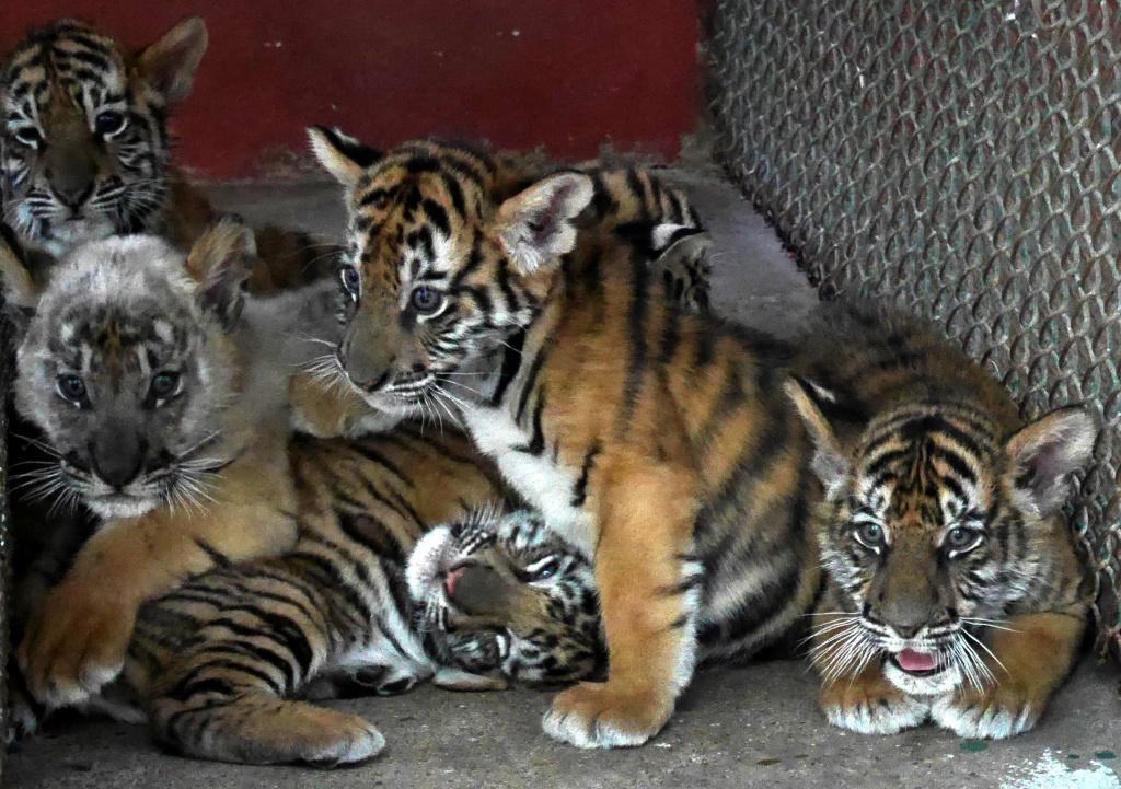 The Tiger Mafia | credit: Hook Films | Silbersalz 2021