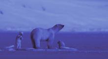 Queen without Land | Auf Wiedersehen, Eisbär